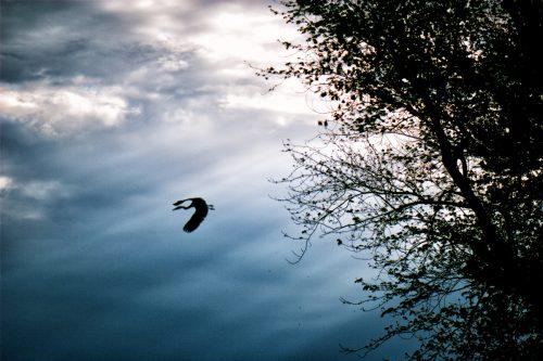 Blue Heron at Hovey Lake