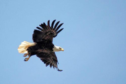 Bald Eagle flying over Hovey Lake