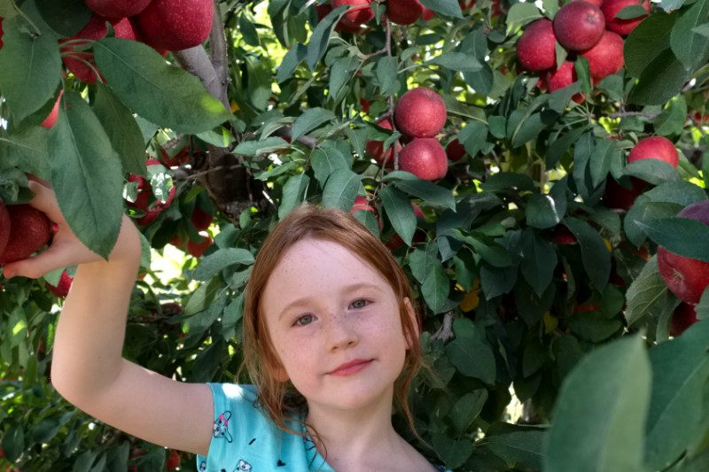 U-Pick apples and other fruit at Farview Orchard